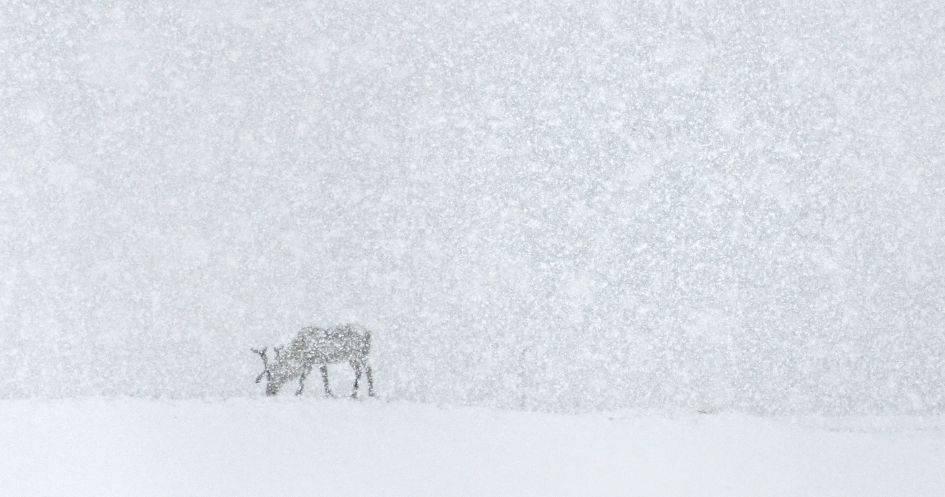 Renne nella neve in Islanda