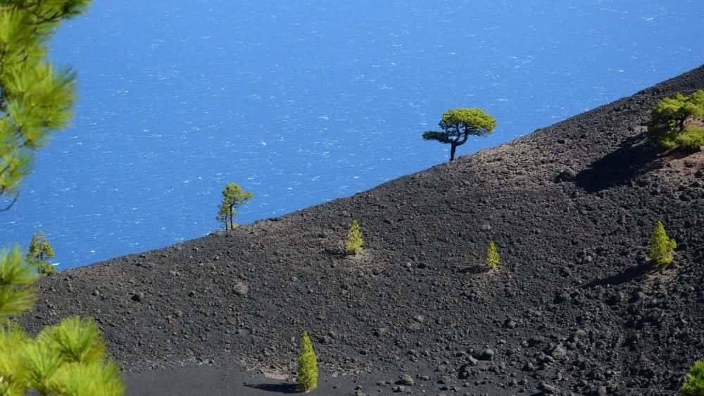 La Palma: Pino canario