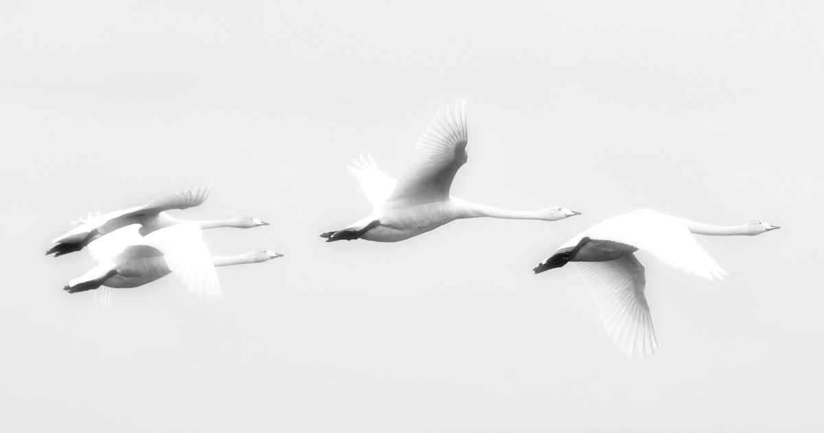Islanda - Volo di cigni