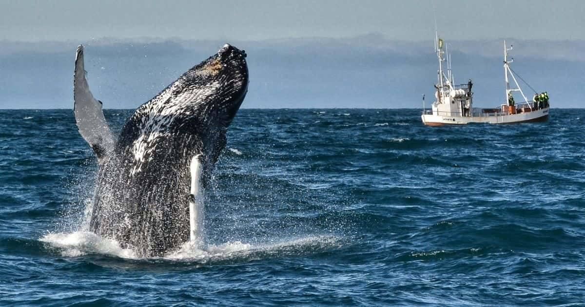 Islanda - Whale watching